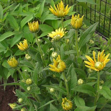 元気が出るヒマワリの花