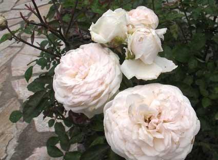 アプローチに植えたバラ