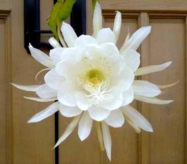 [月下美人が咲いたところ。香り、形にドキッとします]