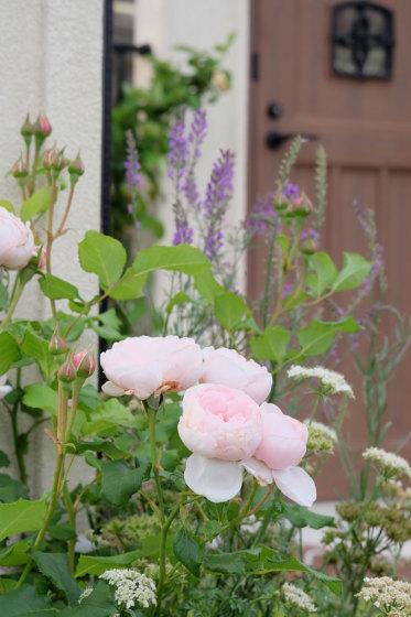 [当社ナエマ。淡いピンクの花をたくさんつけている5月の様子。]