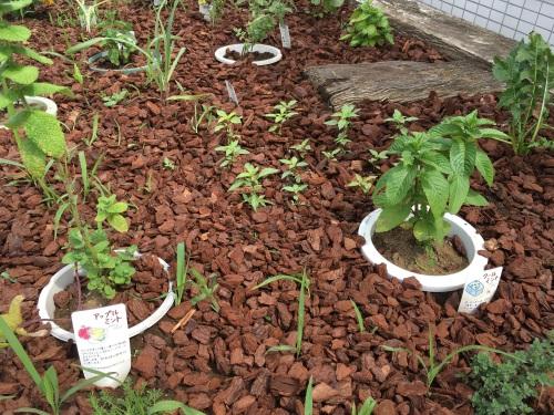 鉢植えのミントと地植えのホーリーバジル