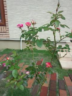 以前より良く咲くようになったバラの写真