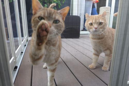 猫が2匹カメラマンにご挨拶している様子