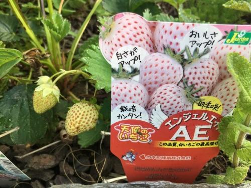 白イチゴ全景