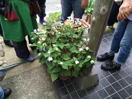 ドクダミ鉢植え1
